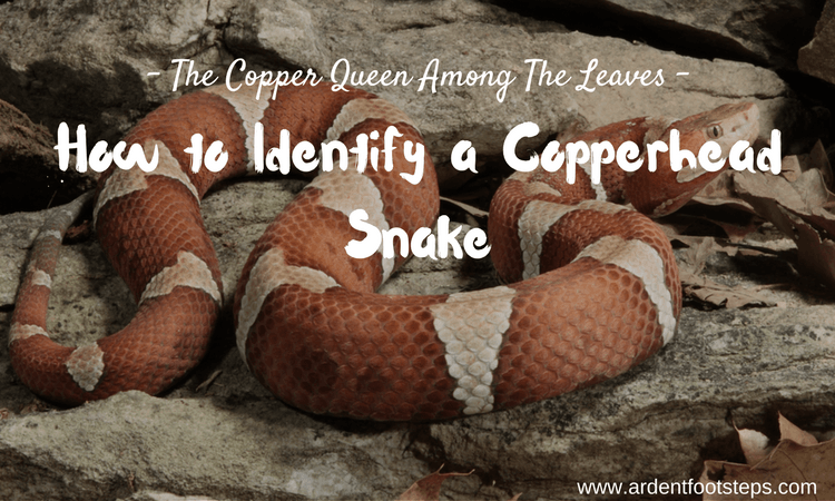 How to Identify a Copperhead Snake
