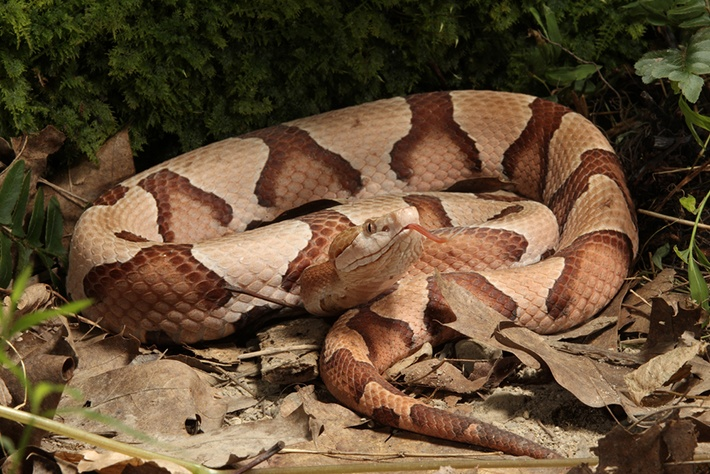 Body of Copperhead  Snake