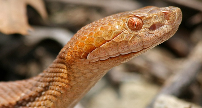 Eyes Of Copperhead Snake